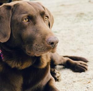 animal-dog-pet-brown-1024x682