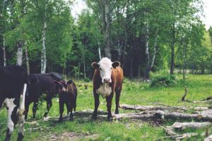 According to the USDA, 35,507,500 cows were slaughtered for meat in 2008.