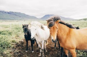 """Horses are not commonly considered """"edible"""" in the UK."""