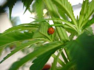 hemp-ladybird-1497991